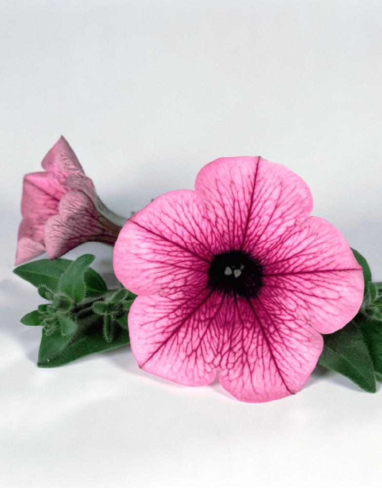 Petunia x atkinsiana Surfinia® Pink Vein