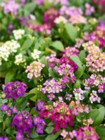 ALYSSUM EASTER BONNET