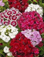 DIANTHUS BARBANTHUS MIX 6 PACK