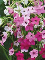 NICOTIANA MIX 6 PACK