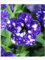 PETUNIA SPECIAL BLUE SPLASH