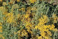 CURRY PLANT DWARF