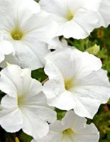 PETUNIA WHITE 6 PACK