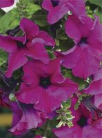 PETUNIA PURPLE 6 PACK