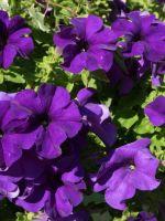 PETUNIA BLUE 6 PACK