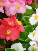BEGONIA MIXED GREEN LEAF 6 PACK