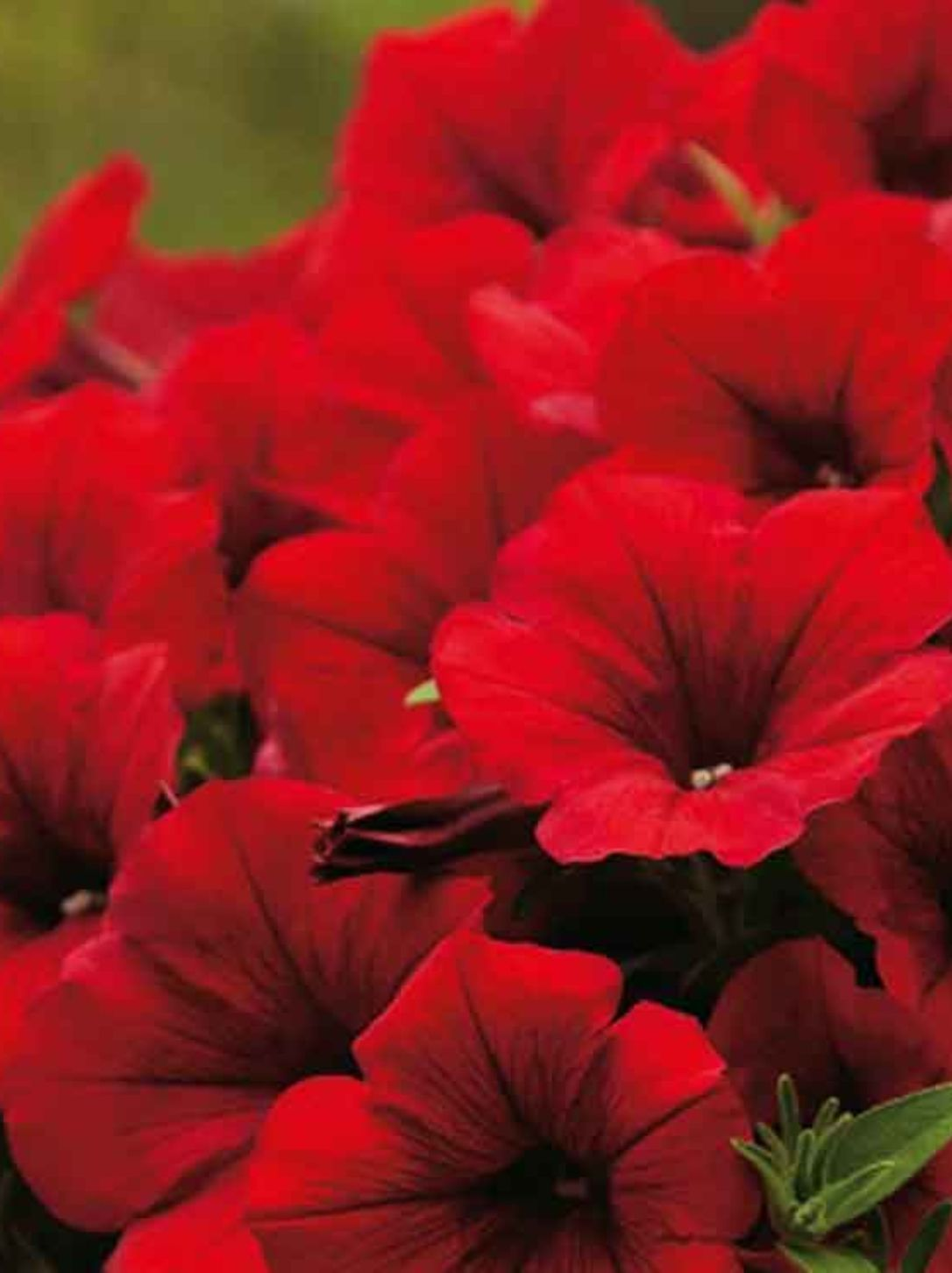 PETUNIA SURPHINIA SCARLET RED