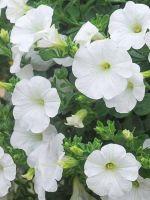 PETUNIA SURPHINIA WHITE