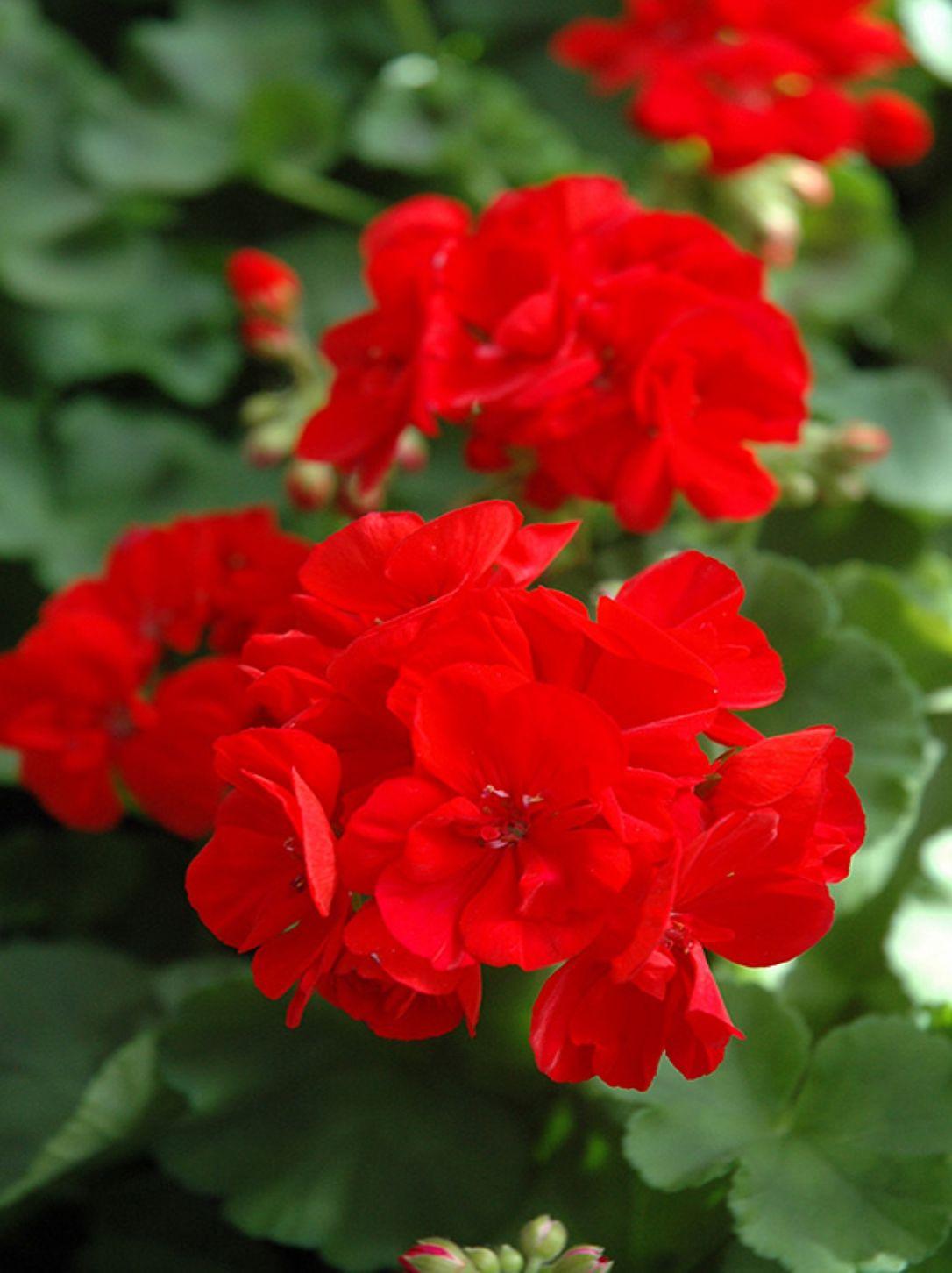 GERANIUM BRIGHT RED
