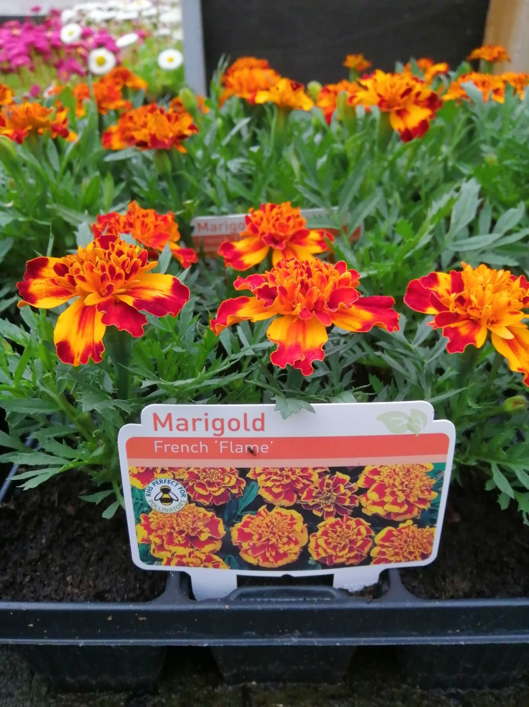 MERIGOLD FRENCH FLAME 6 PACK