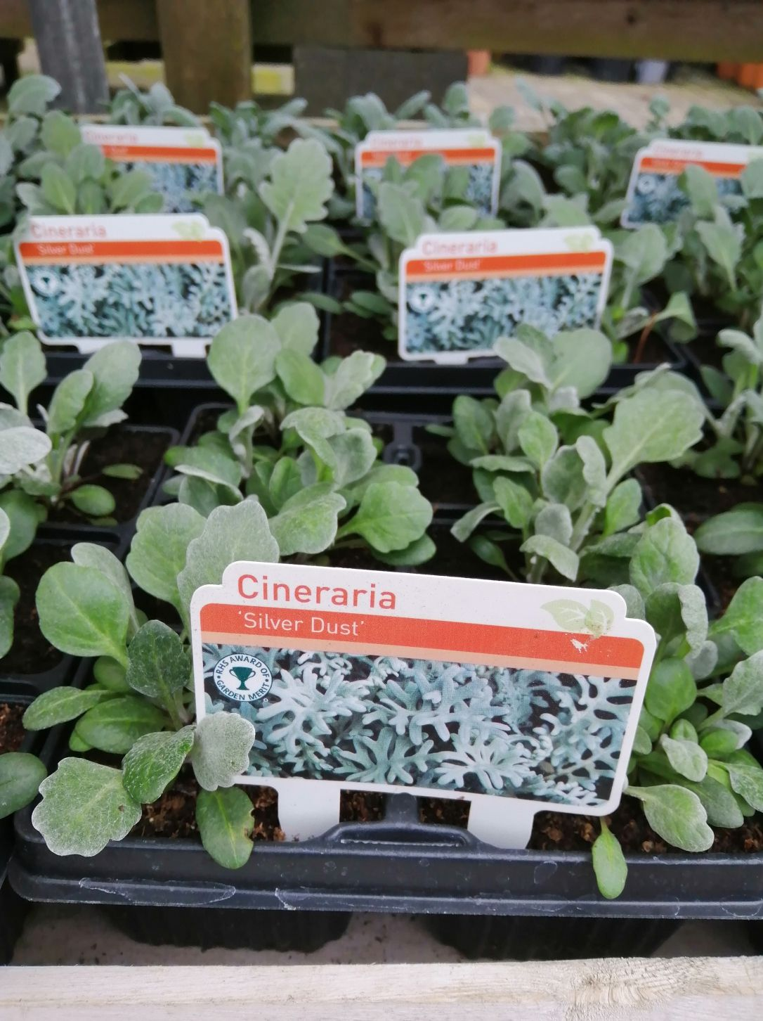 CINERARIA SILVER DUST 6 PACK