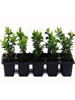 BUXUS SEMPREVIRENS 10 PACK