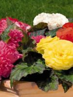 BEGONIA NON STOP MIX 4 PACK