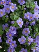 BACOPA BARISTO BLUE