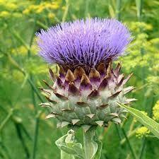 Cynara Scolymus 'Purple of Romagna'