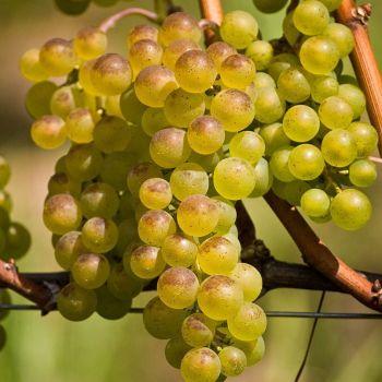 Grape Bianca In 12cm Pot