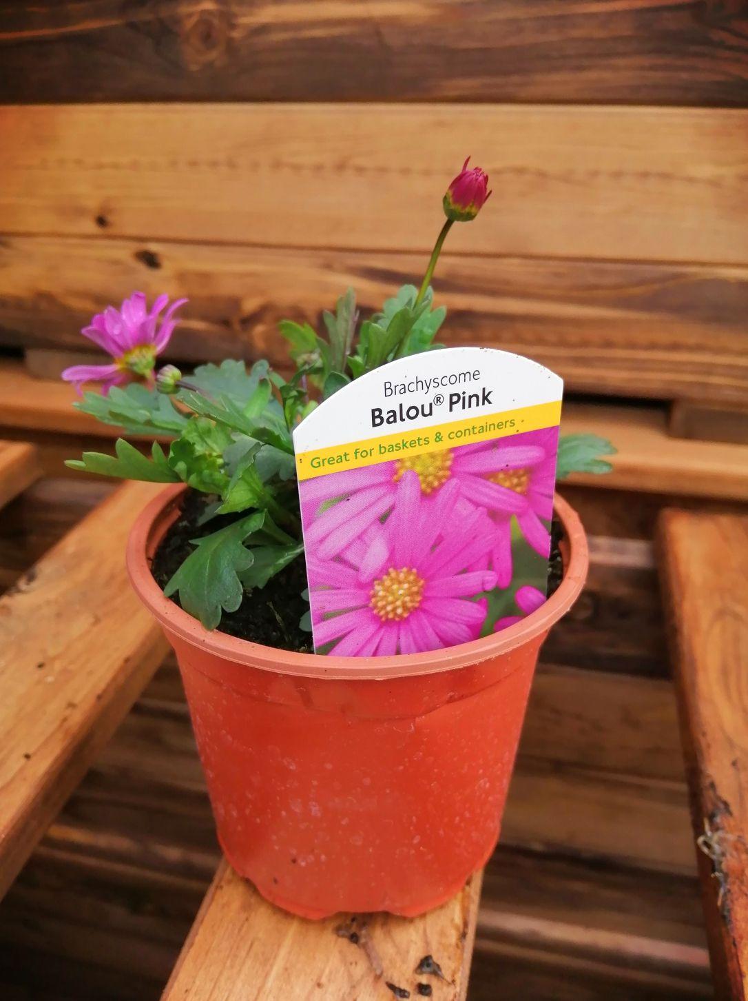 BRACHYSCOME BALOU PINK