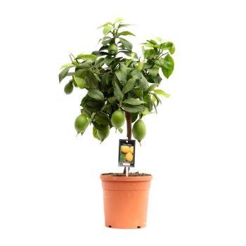 CITRUS LEMON (Lemon Tree)