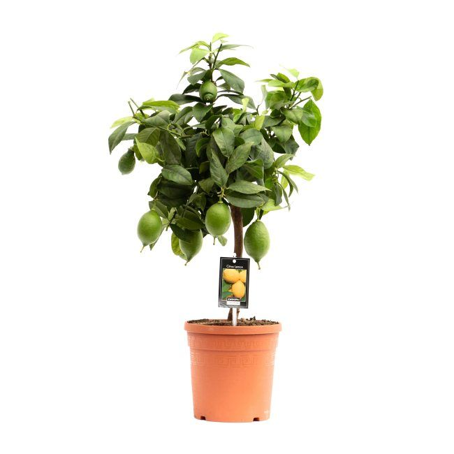 Citrus Lemon (Lemon Tree)