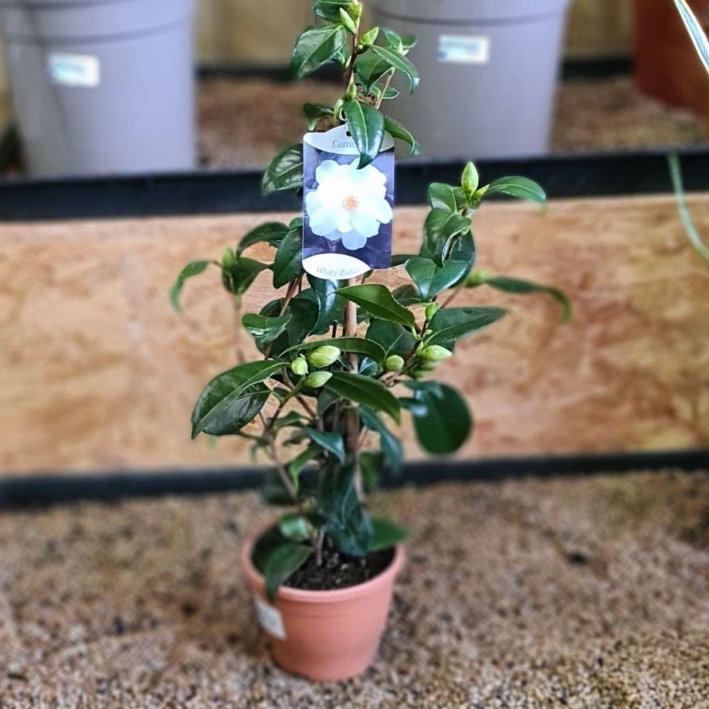 Camellia White zwan
