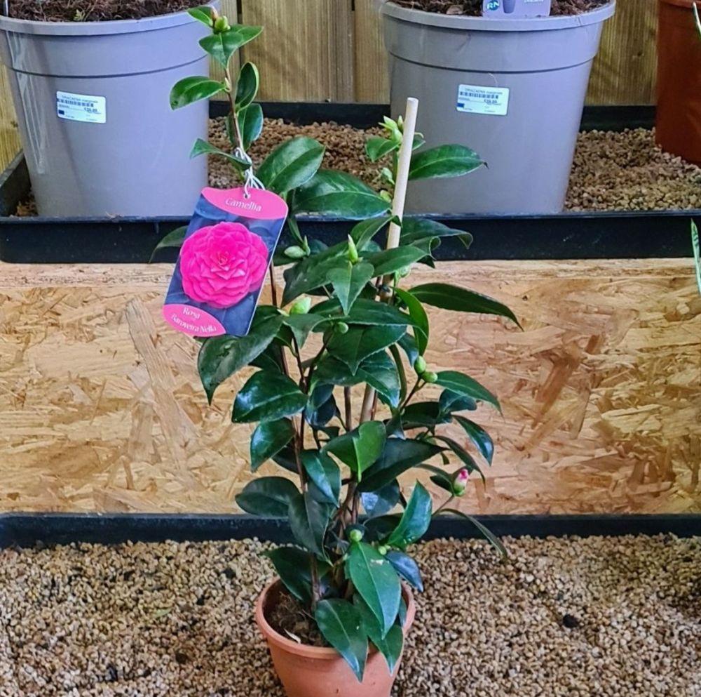 Camellia Rose Baroveira Nella