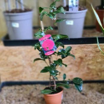 Camellia Princes Bachiotti