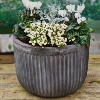 Rome pot winter flowering