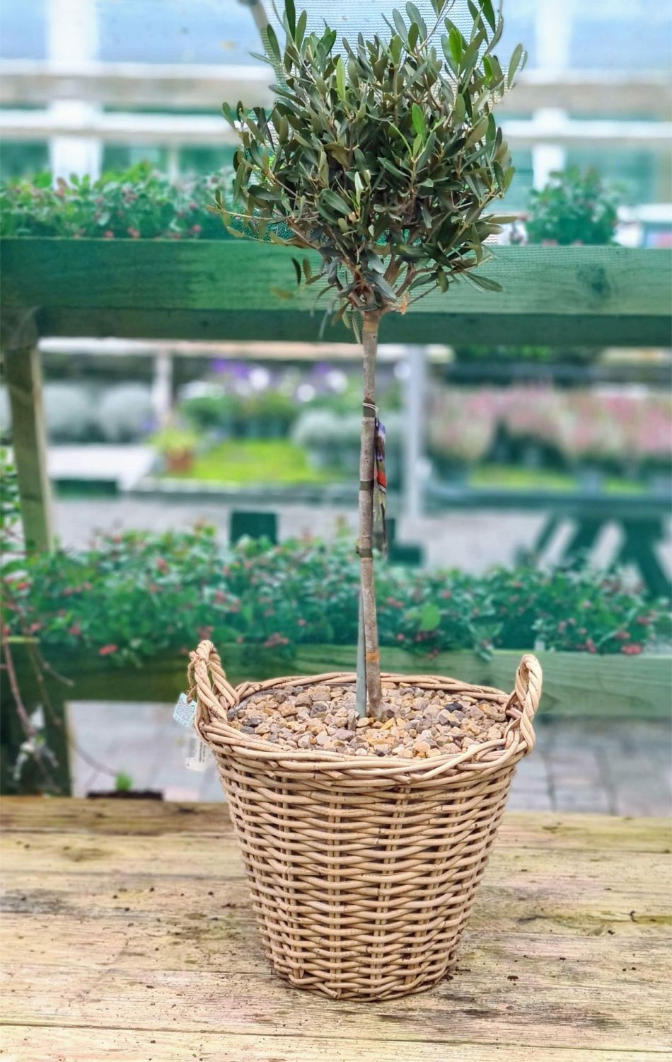 WICKER BASKET PLANTED OLIVE TREE