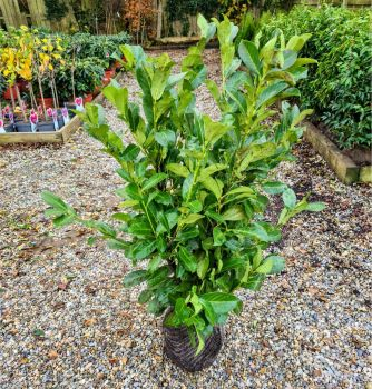 Prunus laurocerasus 'Rotundifolia' Cherry Laurel