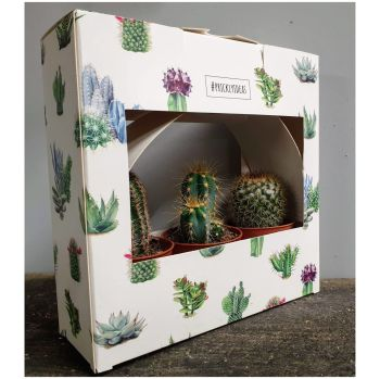 SET OF 3 CACTUSES IN BOX