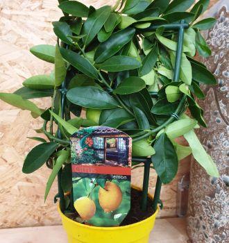 CITRUS LEMON PLANT ON RACK