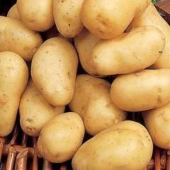 ARRAN PILOT  1st early seed potatoes