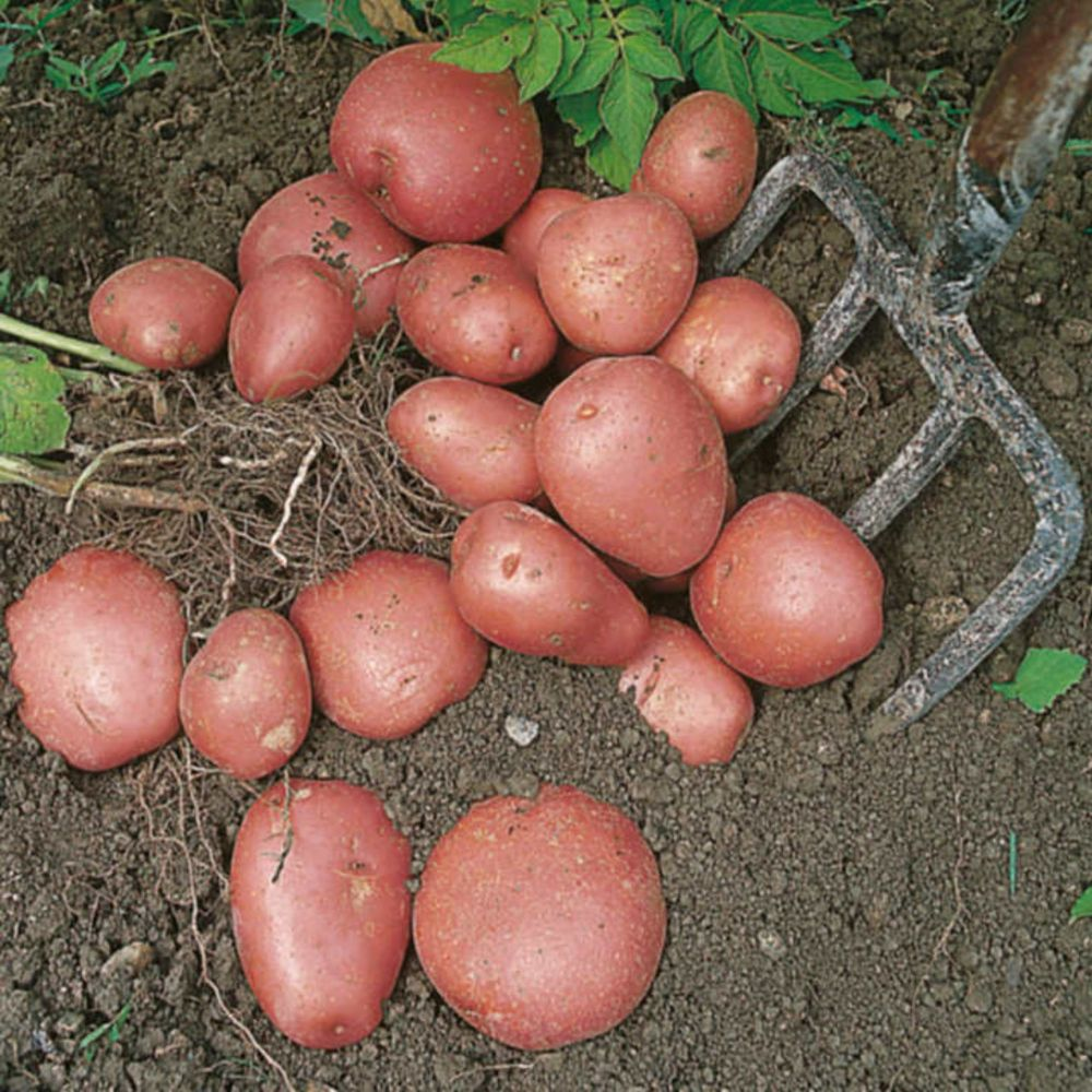RED DUKE OF YORK 1st early seed potatoes