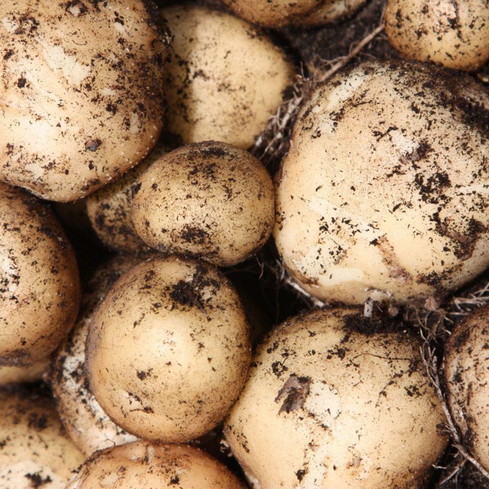 ROCKET 1st early seed potatoes