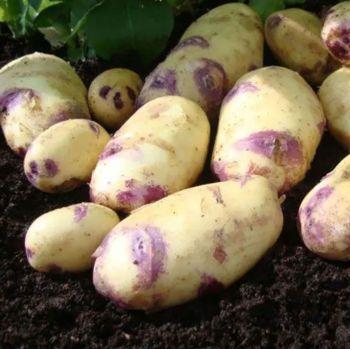 KESTREL second earlies seed potatoes