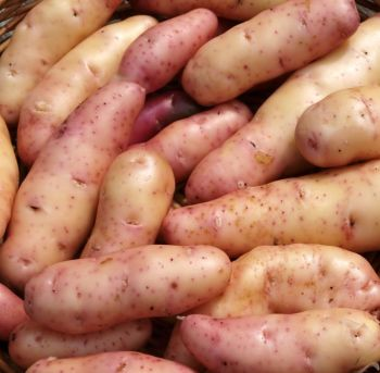 PINK FIR APPLE seed potatoes main crop