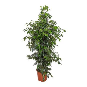 Ficus benjamina Danielle -Branched WEEPING FIG