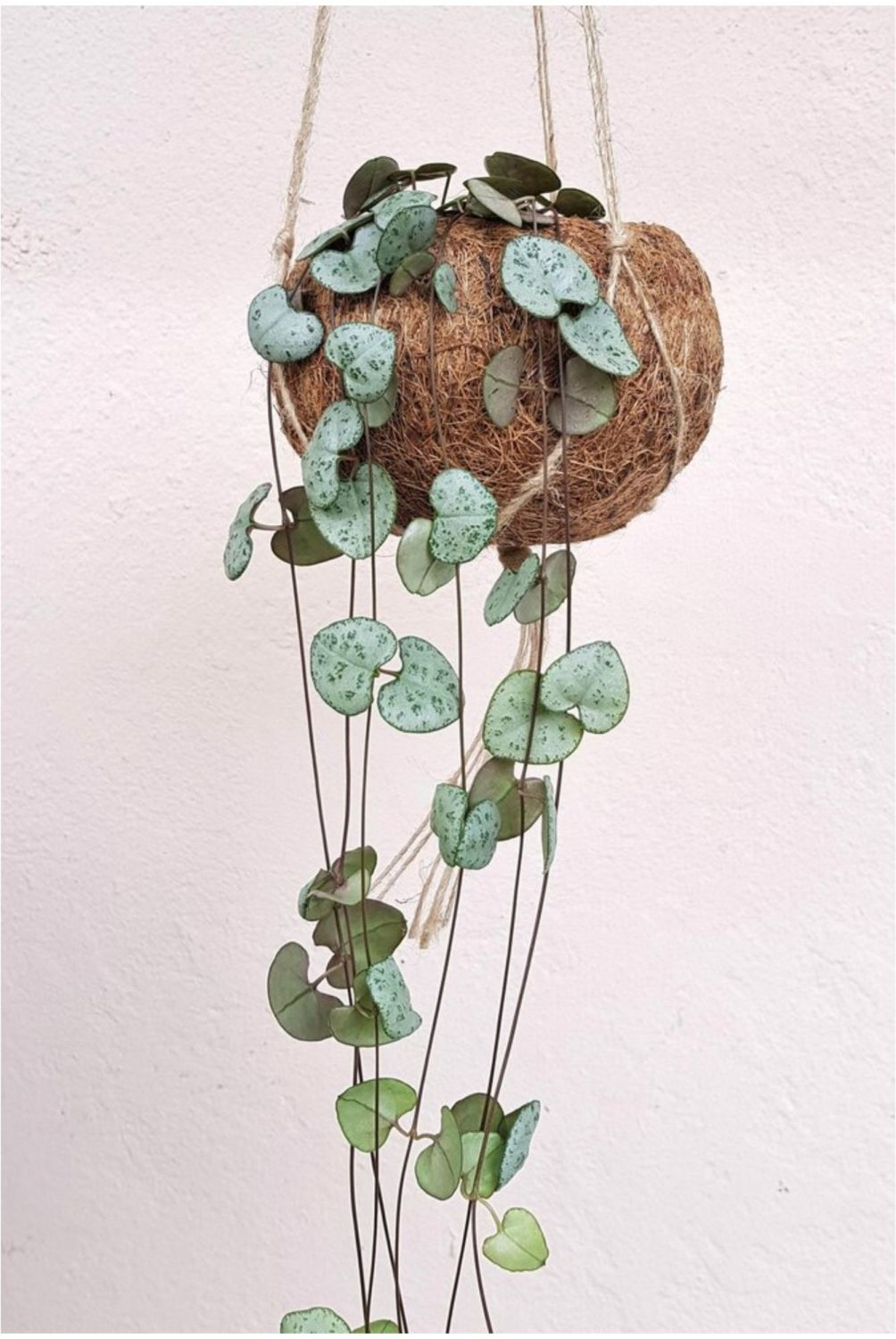 STRING OF HEARTS Ceropegia Kokodama hanging planter
