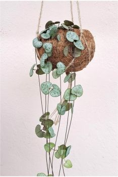 Ceropegia  hanging planter STRING OF HEARTS