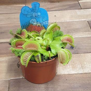 Dionaea muscipula pot 8.5cm VENUS FLYTRAP