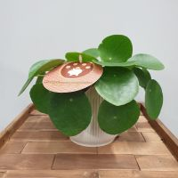 Pilea pepromioides  CHINESE MONEY PLANT