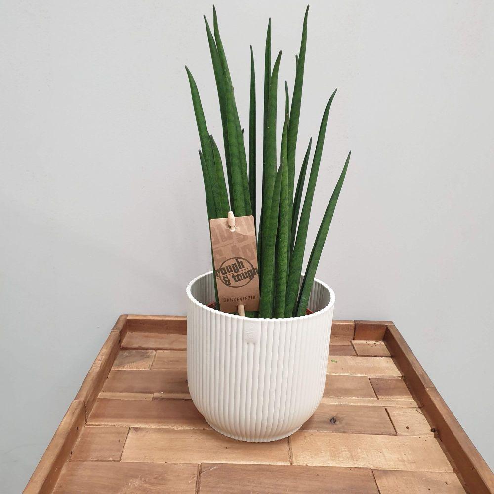 SNAKE PLANT   Sansevieria bacularis 'Mikado'