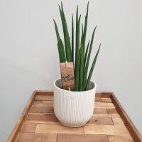 Sansevieria bacularis 'Mikado' SNAKE PLANT
