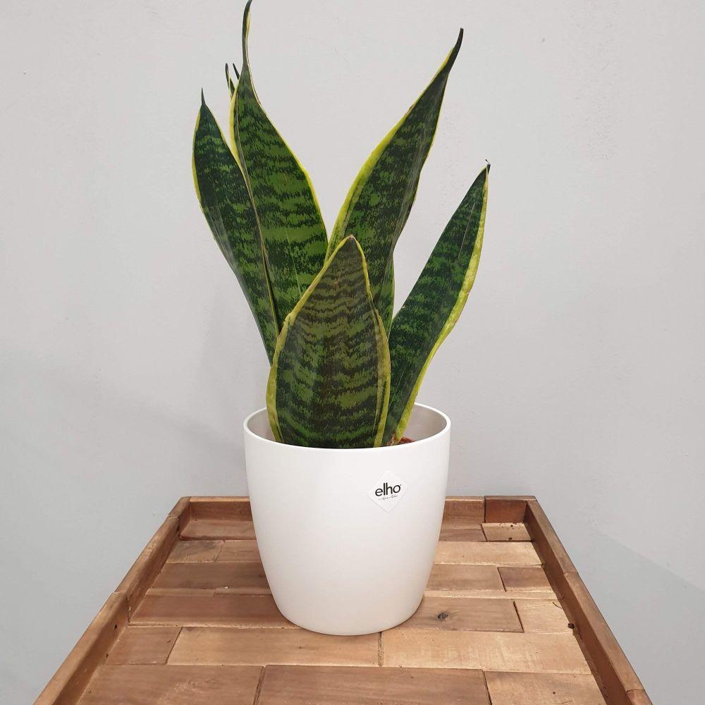 SNAKE PLANT Sansevieria  'Futura Superba'