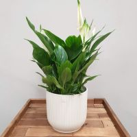 Spathiphyllum Belllini PEACE LILY