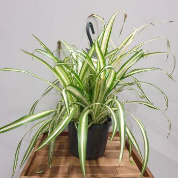 Chlorophytum Ocean  SPIDER PLANT
