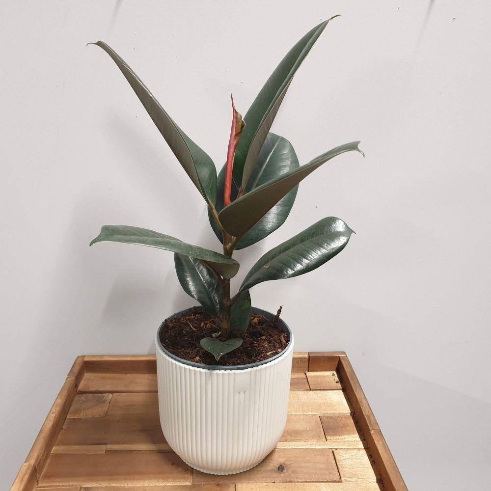 RUBBER PLANT Ficus elastica abidjan