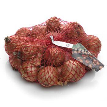 Shallot Red Sun Onion