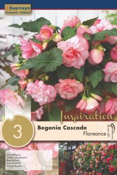 BEGONIA CASCADE FLORENCE