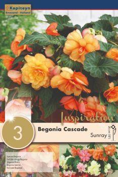 BEGONIA CASCADE SUNRAY
